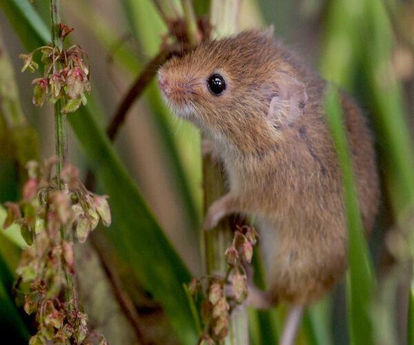 Вредители сада мыши полевки