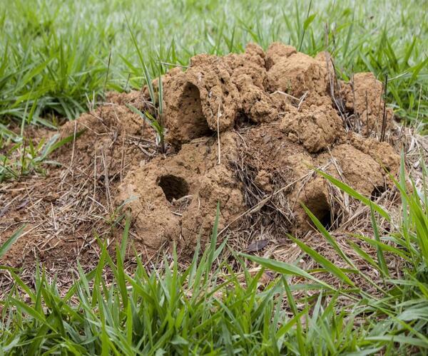 Вредители газона муравьи