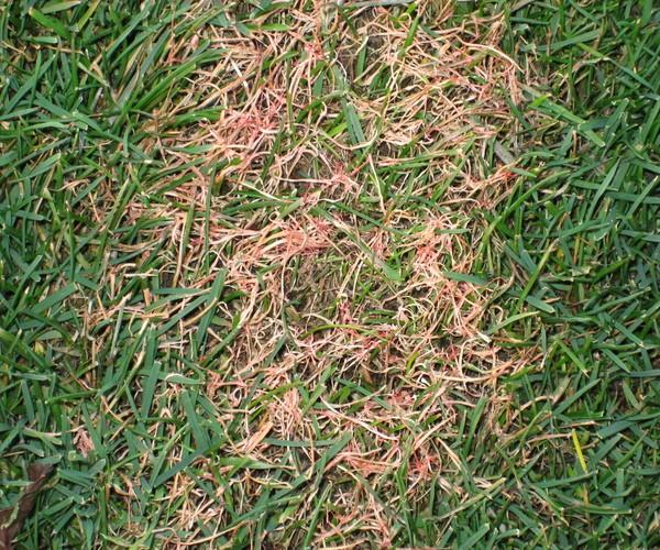 Болезни газона Красная нить (покровная болезнь)